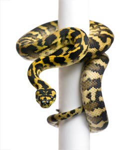 13599732-morelia-spilota-variegata-python-1-year-old-on-pole