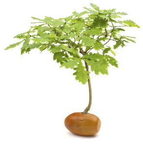 19680114 Acorn Tree