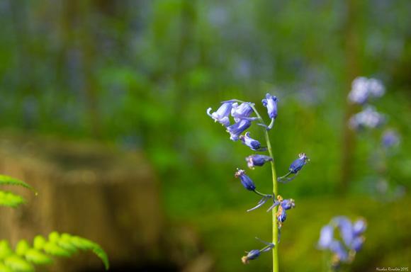 bluebells malvern hills