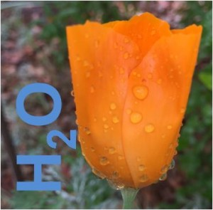Eschscholzia-californica-with-h2o-in-blue