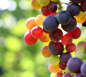 in-focus-shot-of-ripe-grapes-in-a-vineyard_000004119872Small