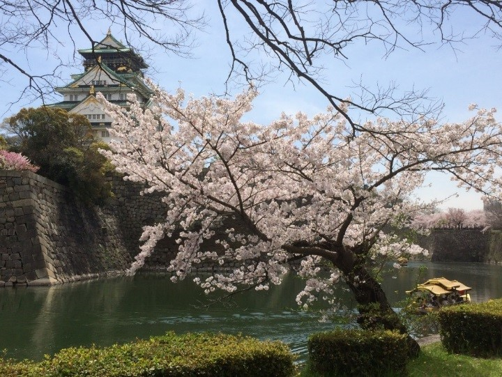 Osaka castle in cherry blossom viewing season