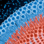 3d-Phospholipid-Bilayer-Illustration-523674417-300x270