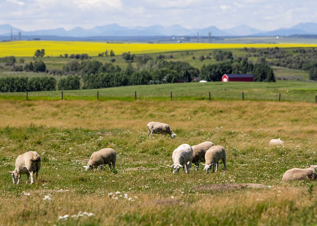 "Sheep graze in a pasture. (""Grazing Sheep at PaSu Farms"" by Heidi Schuyt is licensed under CC BY-NC-SA 2.0)"